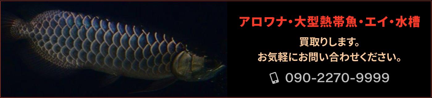 アロワナ・大型熱帯魚・エイ・水槽、買取りします。お気軽にお問い合わせください。TEL 09022709999