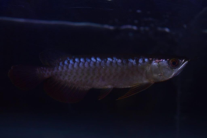 PANGLONG AROWANA HEAD HUNTER アロワナ 亜州龍0700