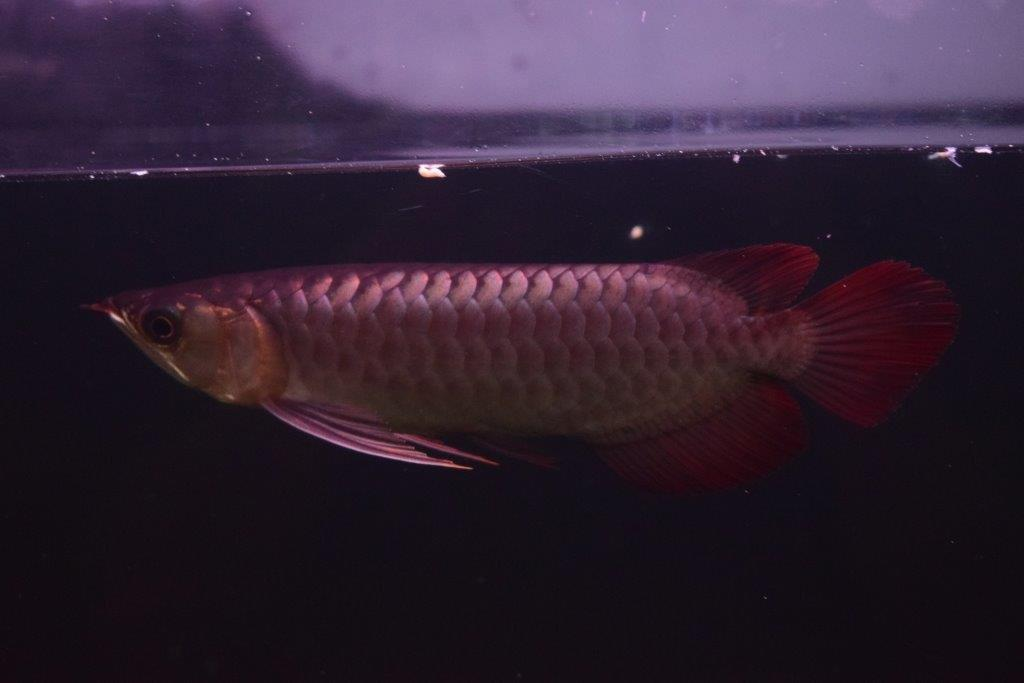 PANGLONG AROWANA HEAD HUNTER アロワナ GML養殖場 EMPERORRED皇帝5143