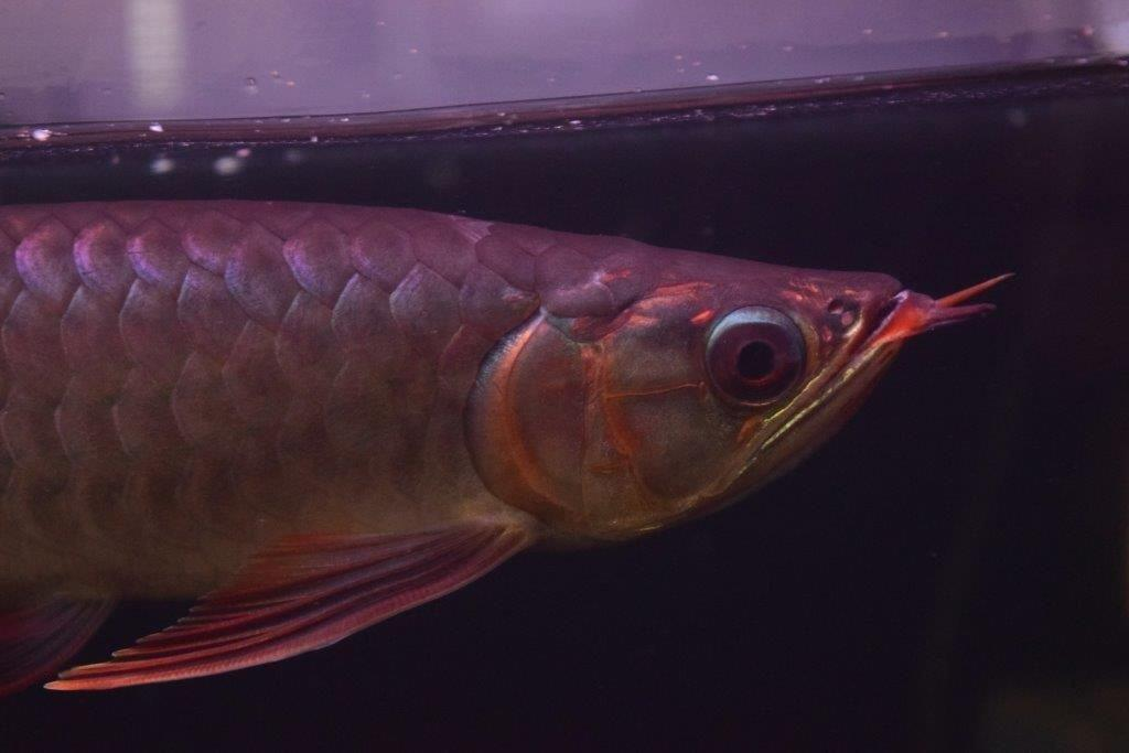PANGLONG AROWANA HEAD HUNTER アロワナ GML養殖場 EMPERORRED皇帝5146