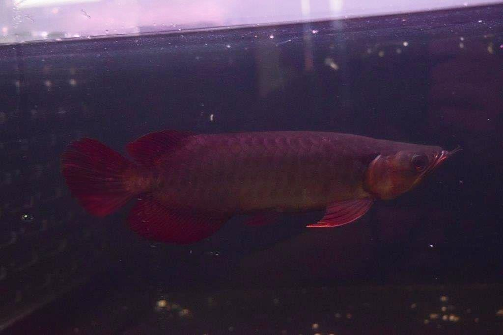 PANGLONG AROWANA HEAD HUNTER アロワナ GML養殖場 EMPERORRED皇帝5147