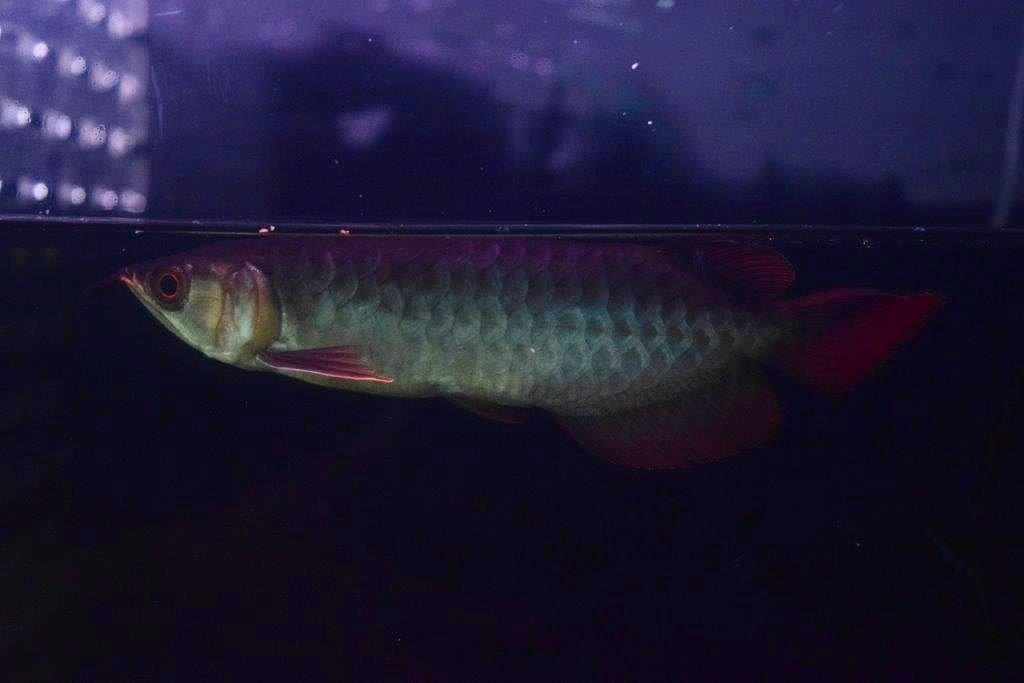 PANGLONG AROWANA HEAD HUNTER アロワナ GML養殖場 EMPERORRED皇帝5150